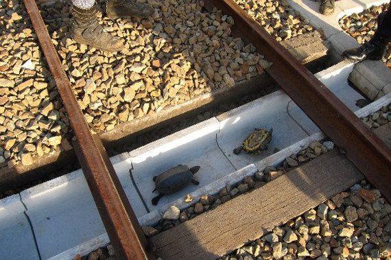 Des tortues sauvées au Japon par des cheminots grâce à des mini