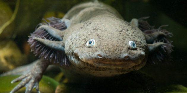 L'axolotl, petit monstre aquatique mexicain, est en danger
