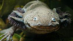 Ce petit monstre aquatique pourrait bientôt