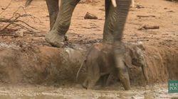 Impossible de douter de la solidarité des éléphants avec cette