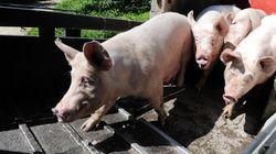 Les producteurs de porc breton renoncent au cours plancher fixé par