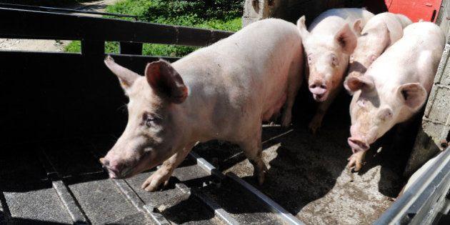 Les regroupements d'éleveurs de porc breton abandonnent l'objectif de vendre à 1,40 euro fixé par le