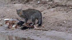 L'Australie va tuer 2 millions de chats errants pour protéger des espèces