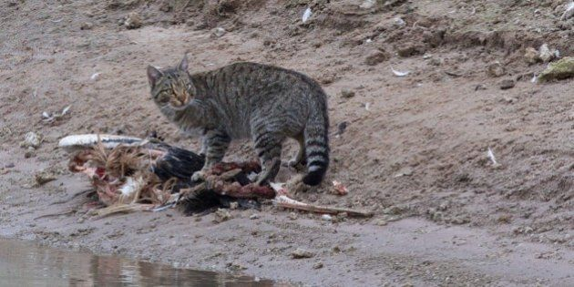 L'Australie veut tuer 2 millions de chats errants d'ici 2020 pour protéger des espèces