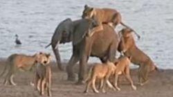 Attaqué par 14 lions, ce bébé éléphant va s'en