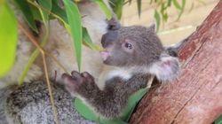 VIDÉO. Ce bébé koala sort pour la première fois de la poche de sa