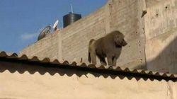 Échappés du zoo, des singes errent dans les rues de
