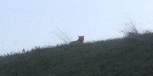 Un tigre en liberté en Seine-et-Marne, police et pompiers mobilisés pour le