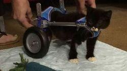 Ce chaton sans pattes arrière peut marcher grâce à ces