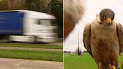 Un faucon percuté par un camion dans une émission danoise tournée en
