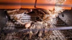 Plongée dans l'univers sordide des élevages en batterie de poules