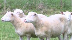 Les scientifiques ont créé 4 clones de Dolly : voici ce qui leur est