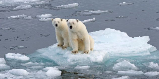 Polar Bears -Ursus maritimus-, female and juvenile on an ice floe in the pack ice, Spitsbergen Island,...