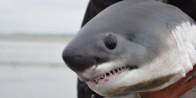 PHOTOS. Ce bébé requin vaut le