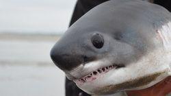 Ce bébé requin vaut le