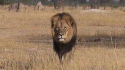 Un Américain fait scandale en tuant le lion préféré des touristes du