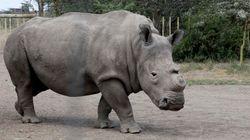 Il ne reste plus que 4 rhinocéros blancs du nord dans le