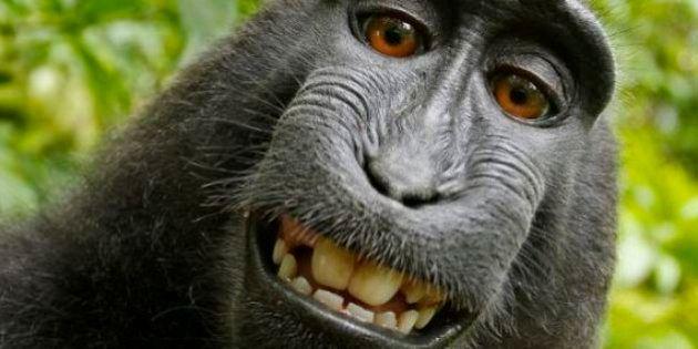 Non, un singe ne peut pas faire un