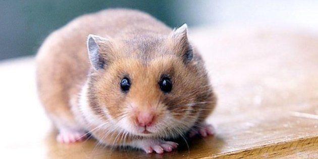 Les hamsters seraient sensibles à leur environnement, qui influe sur leur humeur, assure une