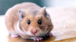 Comment savoir si votre hamster est