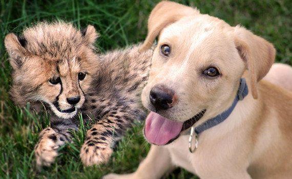 VIDÉO. Kumbali et Kago, le guépard et le chien devenus