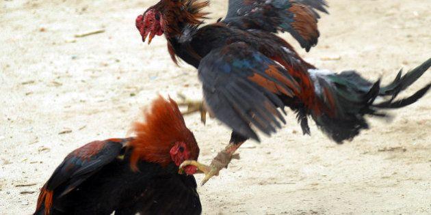 Combat de coqs: l'interdiction de nouveaux gallodromes jugée conforme à la