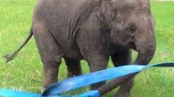 Cet éléphant qui joue avec un ruban va vous faire