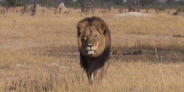 Walter Palmer: le Zimbabwe demande l'extradition du chasseur américain qui a tué le lion