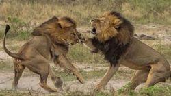 La mort de Jericho, le frère du lion Cecil, démentie par des