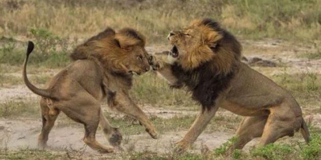 La mort de Jericho, le frère du lion Cecil, démentie par des chercheurs qui suivent les déplacements...