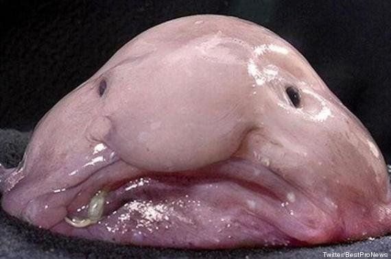 Animal le plus moche du monde : le blobfish, poisson des abysses, remporte le