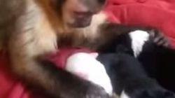 Le singe qui faisait des papouilles à des