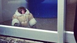 Darwin le singe d'Ikea ne retournera pas auprès de sa