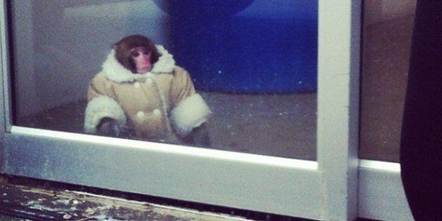 Darwin le singe d'Ikea ne retournera pas auprès de sa maîtresse, a décidé un juge