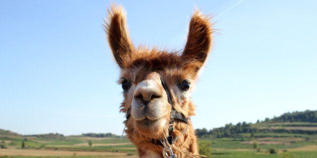 Jeu du lama sur Facebook: pourquoi les lamas envahissent les photos de