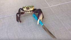 Ce crabe a un couteau mais c'est autre chose qui en a fait une star du
