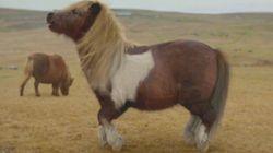 VIDÉO. Écosse: un poney star du