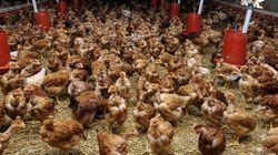 Les volailles françaises ne sont plus subventionnées par