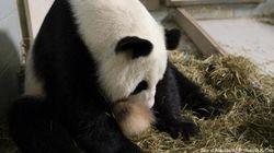 Naissance de deux pandas géants, une espèce en voie de