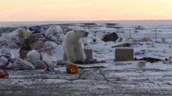 Des ours polaires forcés de fouiller dans une décharge pour se
