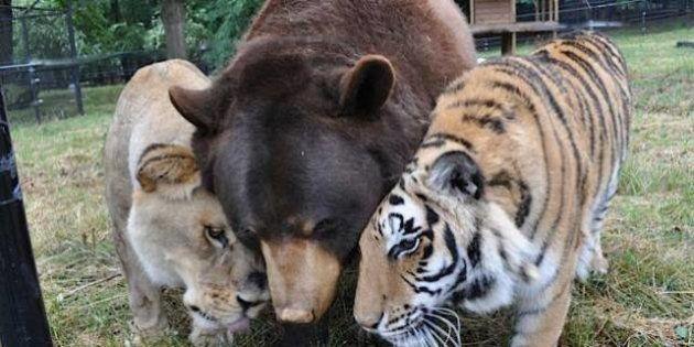 PHOTOS. Animaux maltraités : découvrez la belle histoire d'un lion, un tigre et un