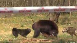 Accusé de sponsoriser des combats entre chiens et ours, Royal Canin se
