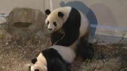 La sextape des pandas