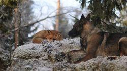 Un chien et un renard deviennent les meilleurs amis au