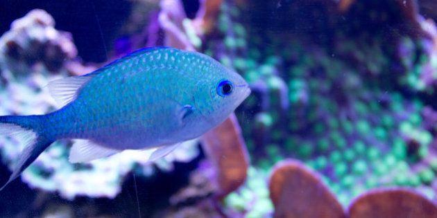 Des écailles de poissons pour créer l'armure de demain? Des scientifiques y
