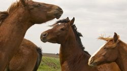Viande de cheval: cinq circuits clairement