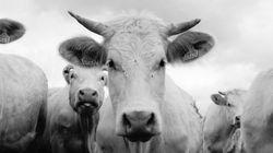 Consommation de masse, abattoirs, viande in vitro: faut-il réinventer