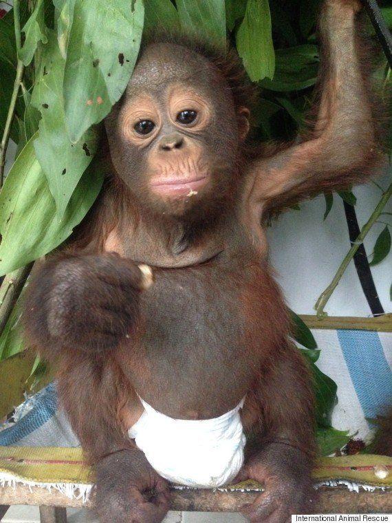 VIDEOS. Deux orang-outans sauvés de justesse en Indonésie deviennent meilleurs