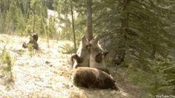 VIDÉO. Des ours filmés dans leur environnement naturel dans le parc d'Alberta au