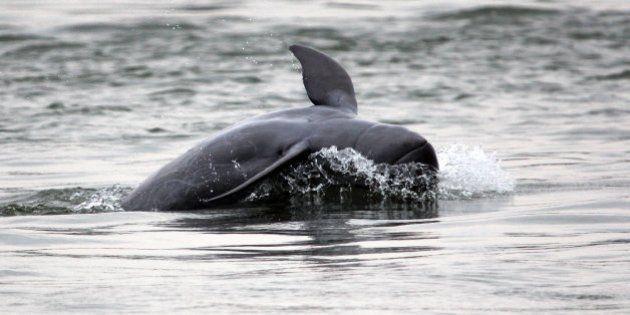Un des six dauphins de l'Irrawaddy du Laos est